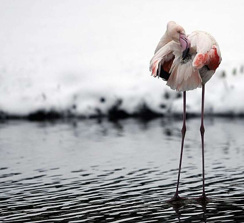 A flamingo seen, in the snow-covered outdoor enclosure of the 'Hagenbeck' zoo, in Hamburg, Germany, Wednesday.