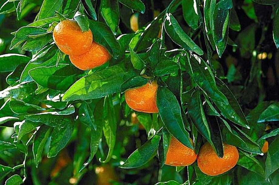 Owari Satsuma orange Photo: Monrovia Growers