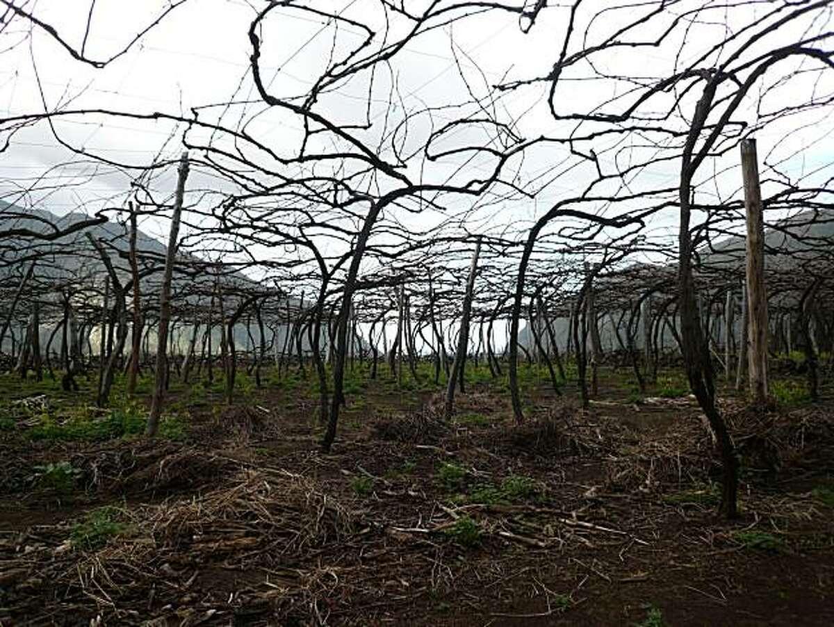 A Tinta Negra Mole vineyard on the island of Madeira photographed winter 2010.