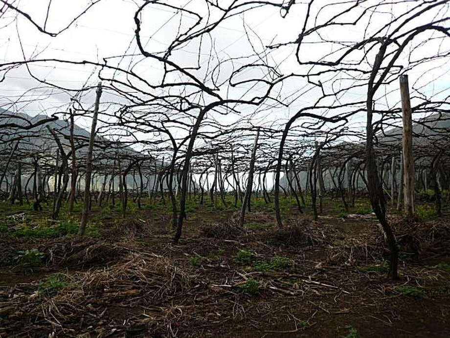 A Tinta Negra Mole vineyard on the island of Madeira  photographed winter 2010. Photo: Vinhos Barbeito