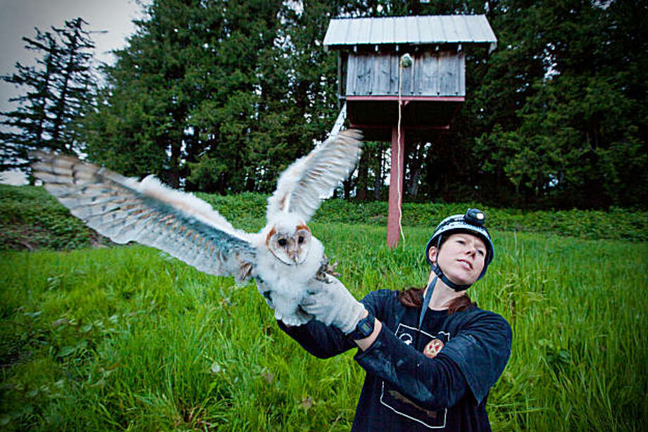 Simon Fraser University researcher Sofi Hindmarch handling a young barn owl after removing it from its nestbox, at center, in an agricultural area in southern British Columbia.  Hindmarch iand colleagues are  conducting a study of the few remaining barn owls in Canada. Photo: Paul Joseph Brown, EcosystemPhoto.com