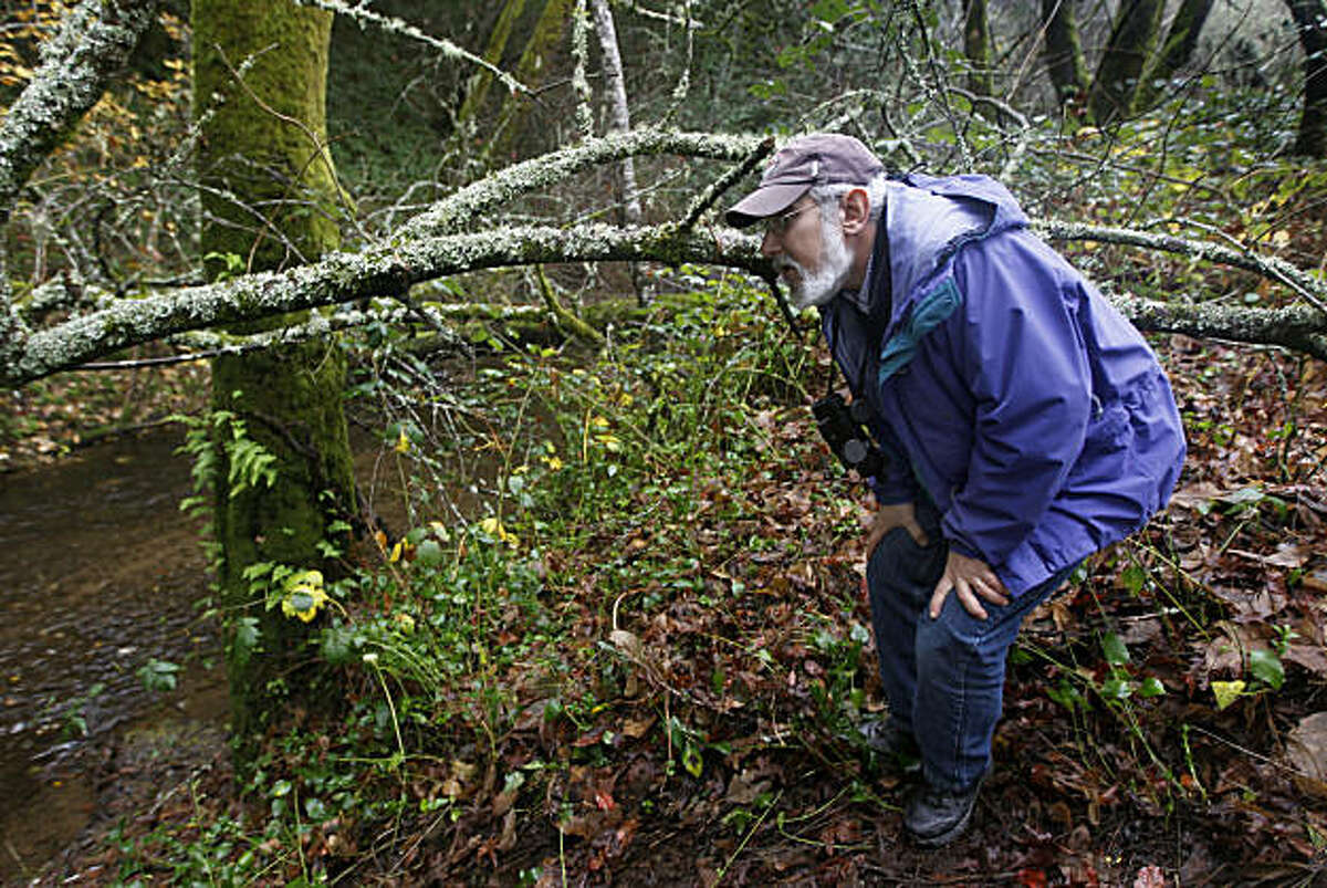 Todd Steiner, executive director of SPAWN, searches for coho salmon activity in San Geronimo Creek in Forest Knolls, Calif., on Tuesday, Dec. 14, 2010.