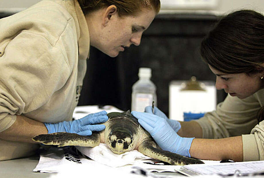 In this Dec. 13, 2010 picture, Meghan Calhoun, left, and Sarah Gomez with the Audubon Nature Institute examine a Kemp's Ridley turtle that was impacted by the BP PLC oil spill in New Orleans. Of the thousands of animals rescued since oil began gushing from the Macondo well, dozens are still being cared for at centers along the Gulf Coast five months after the well was capped. Photo: Pat Semansky, AP