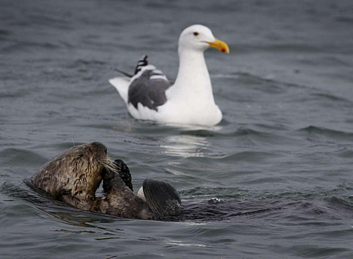 A seagull hopes for leftovers of a clam eaten by a sea otter at Elkhorn Slough in Moss Landing, Calif., on Wednesday, Dec. 8, 2010. Conservationists are constructing a sill, a submerged steel wall designed to slow the outgoing tidal flow, in an effort to reduce erosion and protect the habitat of hundreds of marine species.