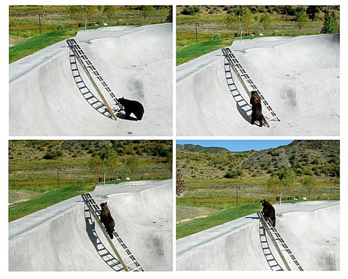 This combination of four photos provided by the Snowmass, Colo., Police Department on Tuesday, Aug. 25, 2009, show a bear that was trapped in a skateboard park, because of its steep concrete sides, in the Colorado resort town of Snowmass making its way out on a ladder that was lowered into the park by officials.