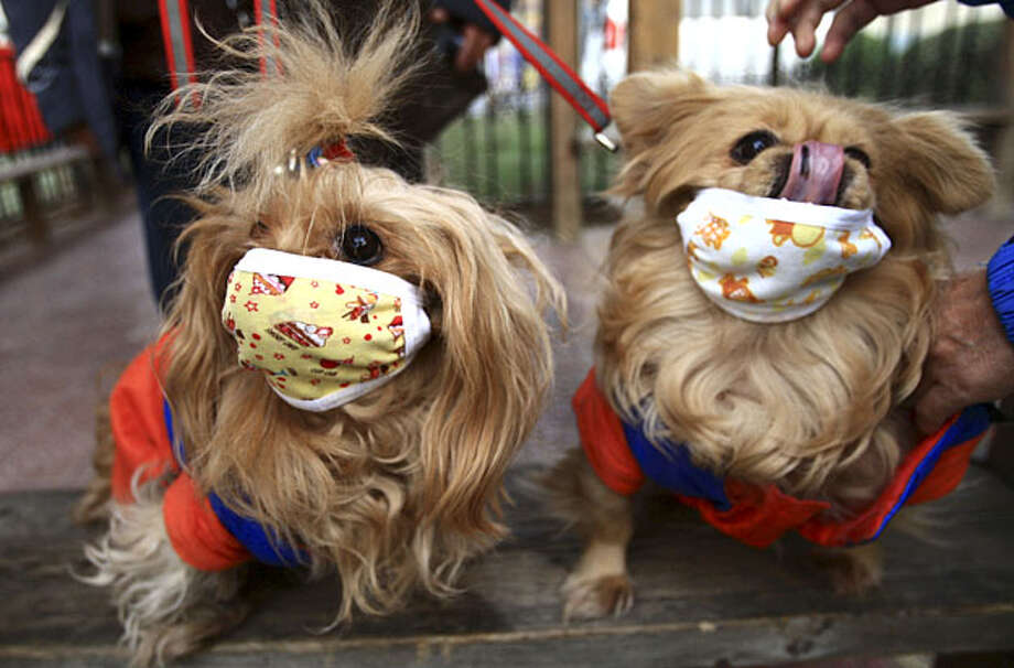 Pet dogs are seen wearing masks after local media reported that two dogs were infected with H1N1 flu virus in Beijing, Tuesday, Dec. 1, 2009. Photo: AP