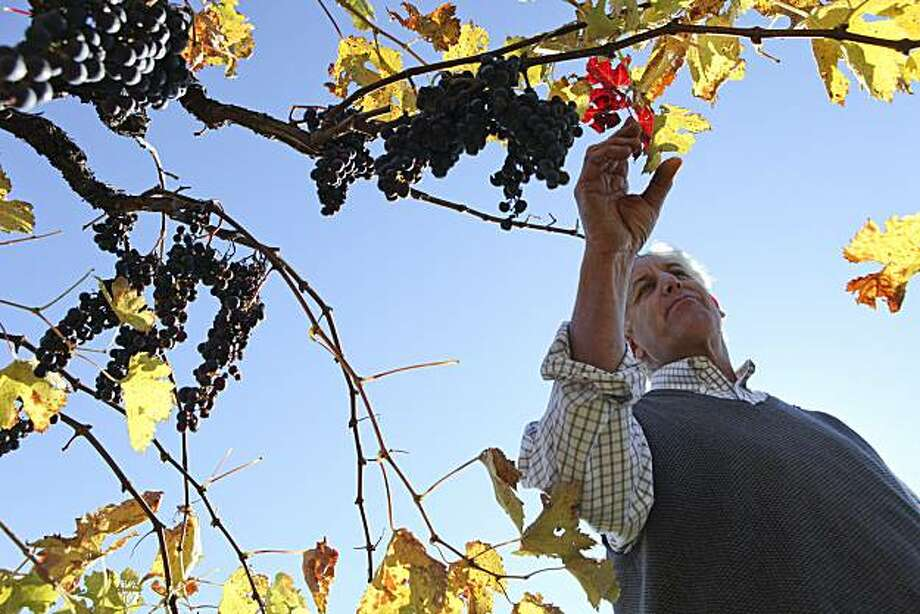 Benyamin Cantz tours his three and a half acre vineyard in the Santa Cruz Mountains on Monday, November 29, 2010 in Santa Cruz, Calif.  Most clusters in Cantz's vineyard died on the vines due to hot weather this year. Photo: John Sebastian Russo, Special To The Chronicle
