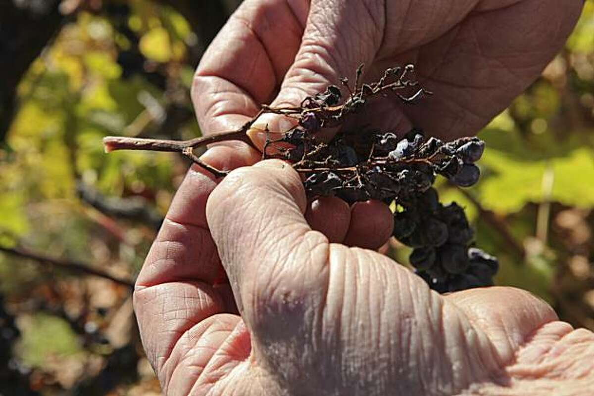 Benyamin Cantz inspects a cluster of Merlot grapes that died on the vine before harvest while touring his three and a half acre vineyard in the Santa Cruz Mountains on Monday, November 29, 2010 in Santa Cruz, Calif.