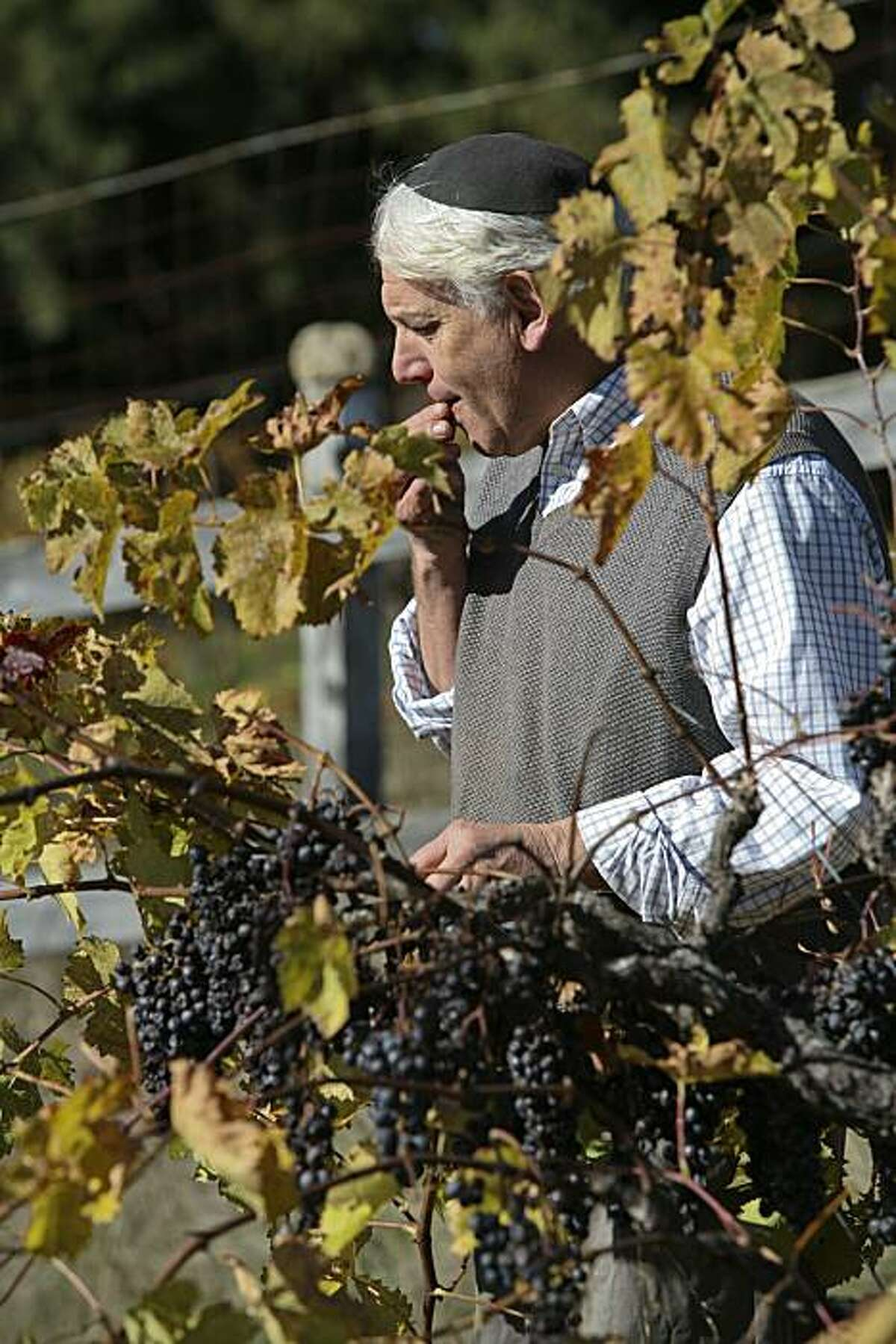 Benyamin Cantz tastes Merlot grapes that died on the vine before harvest while touring his three and a half acre vineyard in the Santa Cruz Mountains on Monday, November 29, 2010 in Santa Cruz, Calif. Most clusters in Cantz's vineyard died on the vines due to hot weather this year.