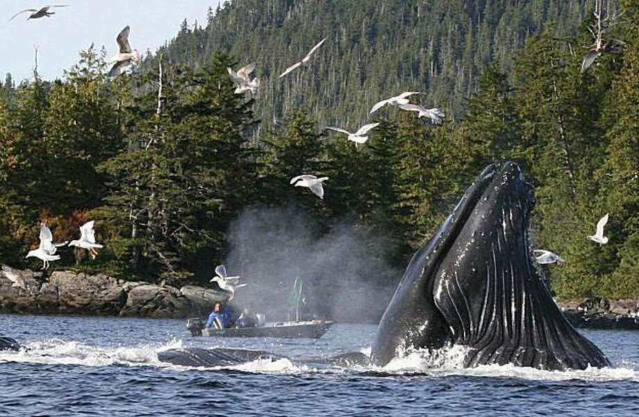 In this Saturday, Oct. 3, 2009 photo, boaters and fishermen near Ketchikan, Alaska, watch as a group of up to six humpback whales gorged on herring, repeatedly breaking the surface together, then swimming around, showing flukes and backs, blowing and sometimes making loud shrieking and groaning noises before diving, only to surface again minutes later. Seagulls feeding on herring driven to the surface by the whales let boaters know where the whales would surface next. Photo: Tom Miller, Ketchikan Daily News
