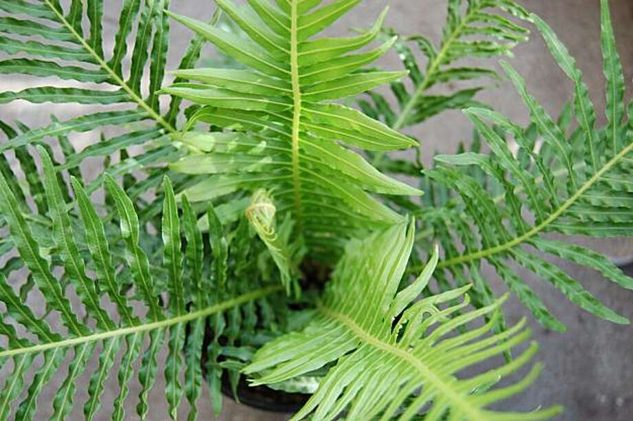 Blechnum gibbum 'Silver Lady' Photo: Erle Nickel