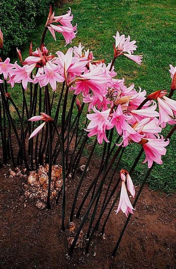 Amaryllis belladonna is the spider lily, or naked lady, that we often see growing semi-wild in the Bay Area. Photo: Pam Peirce
