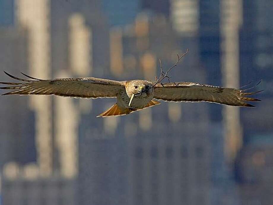 """""""The Legend of Palemale"""" is the true story of the mysterious power possessed by a single red-tailed hawk to open the eyes and hearts of city dwellers to the wonders of nature. It opens Dec. 10 at Opera Plaza. Photo: Palemale.com"""