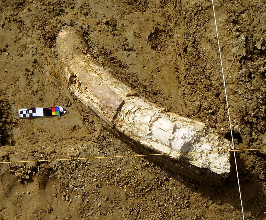 Part of the tusk of a newly-discovered Mammoth excavated at the site.Part of the tusk of a newly-discovered Mammoth excavated at the site. Photo: Tim King