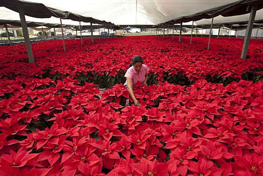 Gudelia Elias Mateo works at a greenhouse where 'Nochebuena' flowers or Poinsettia's are cultivated in San Lorenzo Tlacopetepec, Mexico, Tuesday, Nov. 30, 2010. The Nochebuena flower, which is native to Mexico, is a popular Christmas decoration. Photo: Mario Vazquez De La Torre, Associated Press