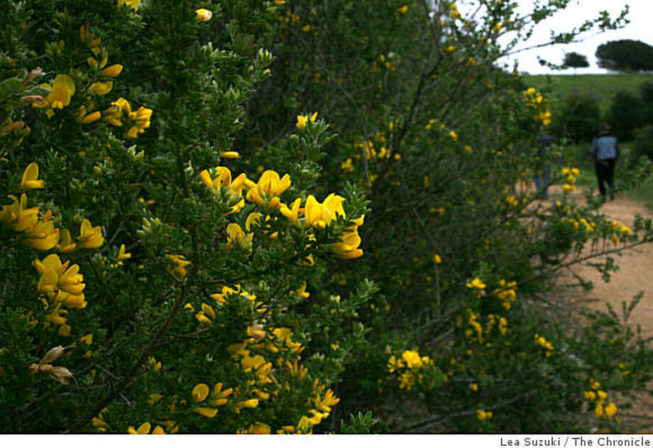 Non native plants, such as the Scotch Broom, cover large areas of Knowland Park in Oakland on Wednesday, March 19, 2008 in Oakland, Calif.   The Oakland Zoo, in a plan approved by the City Council 10 years ago,  for the first time in decades wants to expand its hillside compound to offer more animal exhibits. But some neighbors, who want to be able to hike freely through adjacent Knowland Park and enjoy sweeping views of the Bay, don't approve.   Photo by Lea Suzuki / San Francisco Chronicle Photo: Lea Suzuki, The Chronicle
