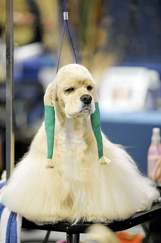 Cody a five year old Cocker Spaniel sits on the grooming table waiting to compete in the judging rounds at the National Dog Show hosted by the Kennel Club of Philadelphia, Saturday, Nov. 14, 2009 in Oaks, Pa. Photo: Bradley C Bower, AP