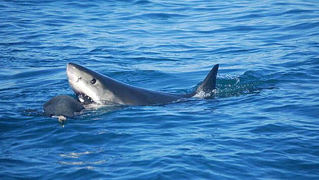 Shark Eats Dolphin