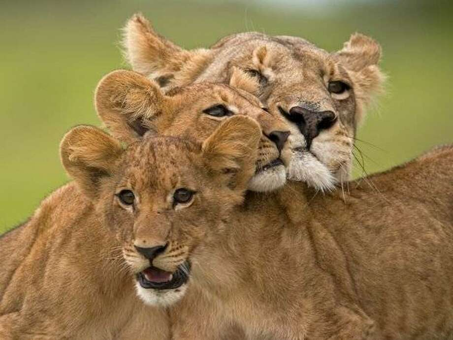 "Ma di Tau with two cubs in National Geographic's ""The Last Lions."" Photo: Naitonal Geographic"