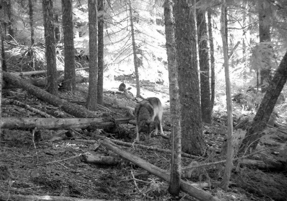 This Nov. 14, 2011 photo from a trail camera appears to show OR-7, the young male wolf that has wandered hundreds of miles across Oregon and Northern California looking for a mate and a new home. The Oregon Department of Fish and Wildlife says the photo likely shows OR-7, because a collar is visible on the neck, and GPS tracking data put him in the area where the camera was set on that date.  Oregon's famous wandering wolf seems to be staying out of trouble after settling for now in the southern Cascades, but there are no signs he has found a mate yet.  (AP Photo/Allen Daniels via The Medford Mail Tribune) Photo: Allen Daniels, Associated Press