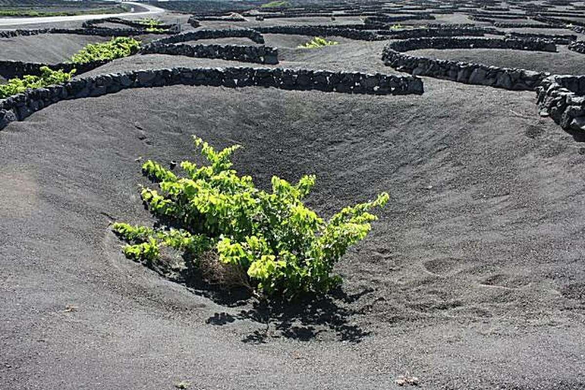 A moonscape scene in the vineyards of Los Bermejos, on the volcanic island of Lanzarote in the Canary Islands.
