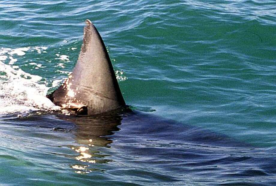 "The fin of a 16-ft female shark the researchers call ""Top Notch"" because of a large notch on the top of her fin. November 19, 1998. Photo: Thor Swift, Special To The Chronicle"