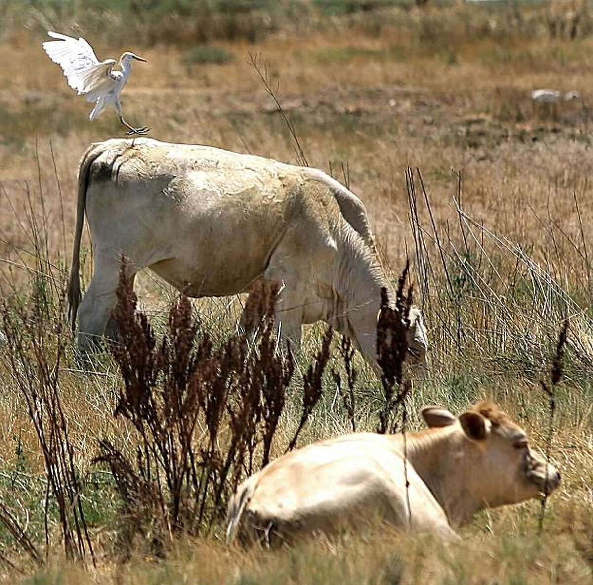 An egret comes in for a landing on the back of a cow in a field off of Buena Vista Road, Wednesday, July 12, 2006, southeast of Bakersfield, Calif.