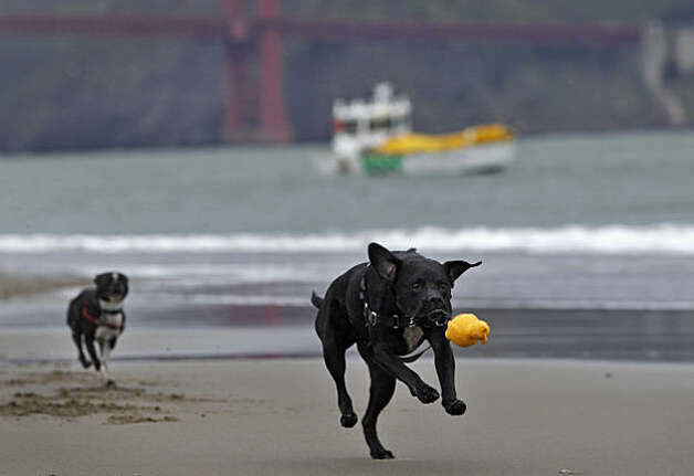 Barney the Black Lab -Boxer mix chases the toy with Rokko the Boston Terrier at his heals along the water at Crissy Field, Tuesday Feb. 15, 2011, in San Francisco, Calif. Photo: Lacy Atkins, The Chronicle