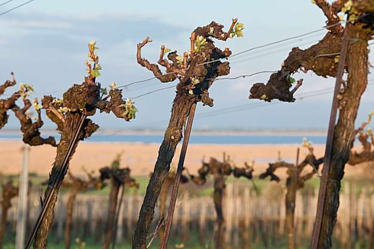 Vines in the wine growing region of Neusiedlersee-H�gelland, Austria with the Neuseidler lake in the background.