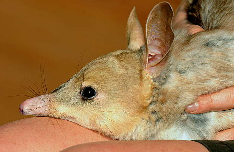A nocturnal male 'Bilby' rests on the leg of keeper Kate Blount at Sydney Wildlife World on Septembe