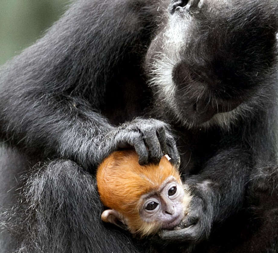 A two-month-old male Francois Langur monkey is held tight while being groomed by his mother, Lynn, at the Henry Doorly Zoo in Omaha, Neb., Friday, Oct. 15, 2010. Francois Langur's are leaf-eating monkeys found in tropical Asia. They are born bright orange, and darken as they mature. Photo: Nati Harnik, AP