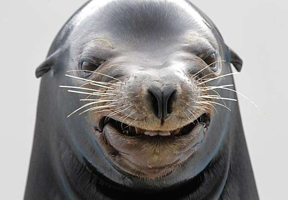 "A sea lion ""smiles"" during a show at Kamogawa Sea Wolrd in Kamogawa, east of Tokyo, Japan, Sunday, Oct. 17, 2010. Photo: Itsuo Inouye, AP"