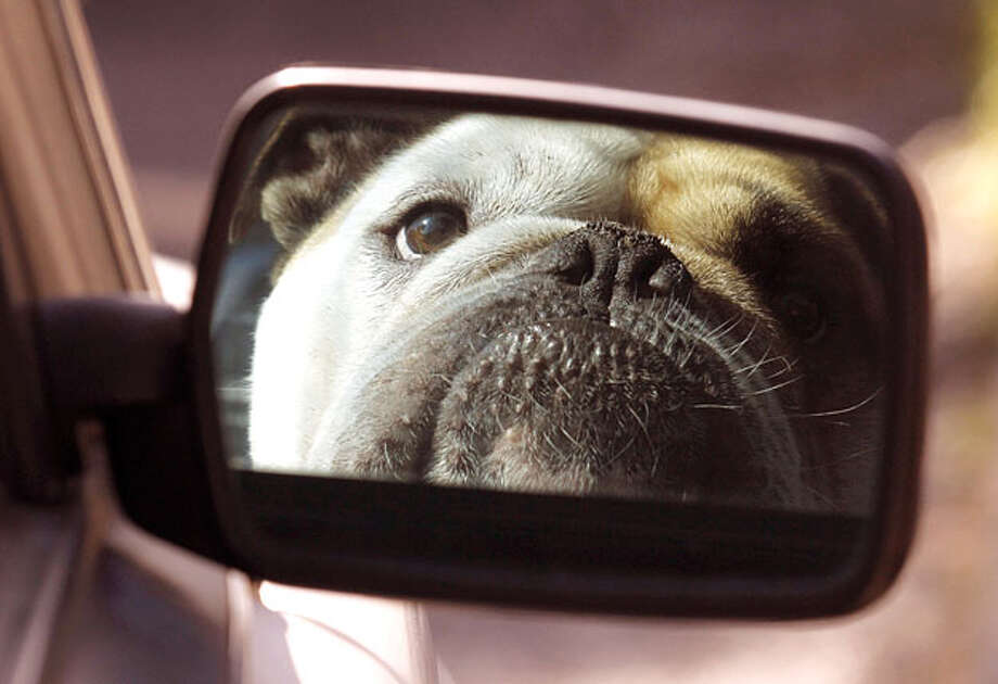 With a look no one would mess with, Chopper, an English Bullldog, glares in the rear view mirror as he waits for his owner in the passenger seat of their car in Portland, Ore., Friday, Oct. 15, 2010. Photo: Don Ryan, AP