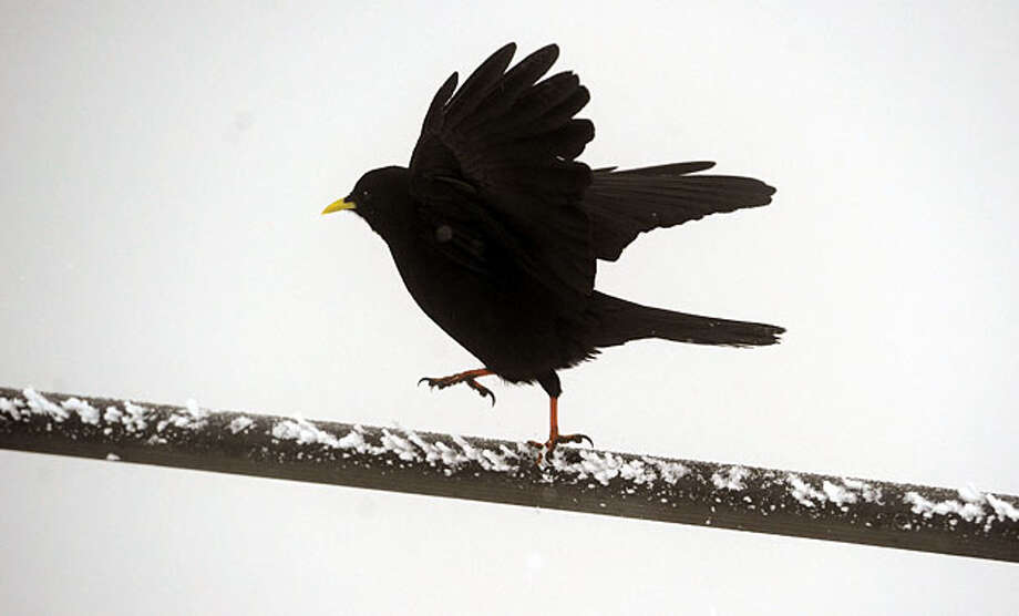 A black bird balances on a branch on Wendelstein mountain near  Bayrischzell , southern Germany Sunday Oct. 17, 2010. Low temperatures caused first snowfalls in some parts of southern Germany. Photo: Oliver Lang, AP