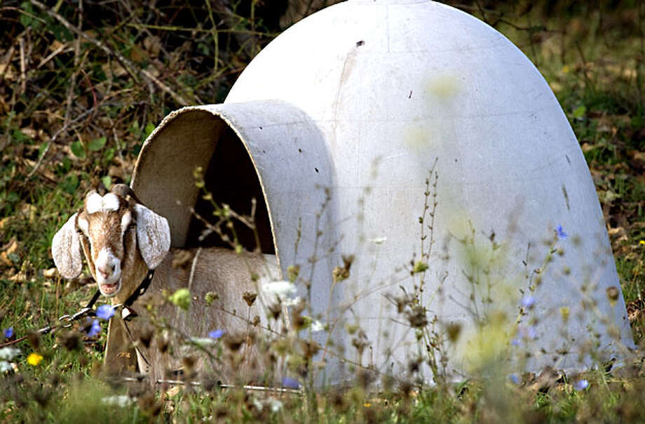 A large goats sits in an igloo shaped doghouse in a field along a country road near Green, Ore., on Friday, Oct. 15, 2010. According to an advertisement on a pet products website, the large Dogloo brand doghouse is designed for large dogs such as German shepherds, Labrador retrievers, and pointers,  but fails to mention goats. Photo: Robin Loznak, Robinloznak.com