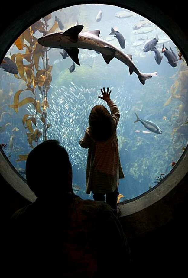 A leopard shark swims above Michael Peterson and his daughter Eva in the Enchanted Kelp Forest of the Splash Zone exhibit at the Monterey Bay Aquarium in Monterey, Calif., on Wednesday, March 12, 2008. Photo: Paul Chinn, The Chronicle