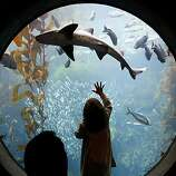 A leopard shark swims above Michael Peterson and his daughter Eva in the Enchanted Kelp Forest of the Splash Zone exhibit at the Monterey Bay Aquarium in Monterey, Calif., on Wednesday, March 12, 2008.