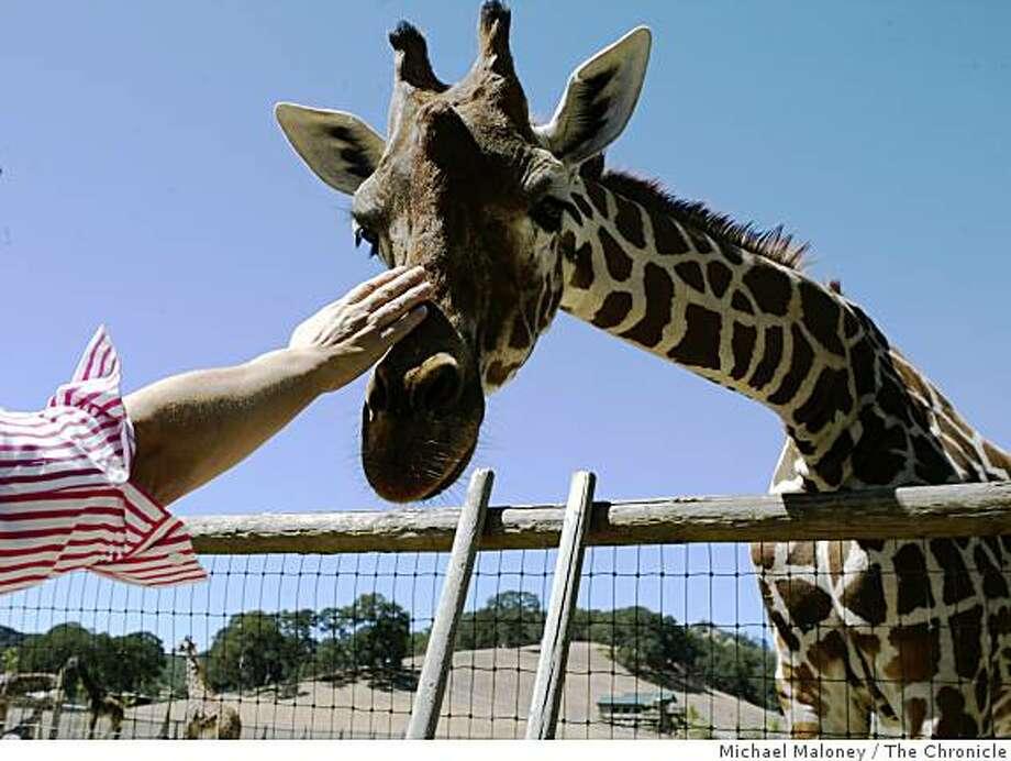 A visitor pets a giraffe at Safari West in Santa Rosa Photo: Michael Maloney, The Chronicle