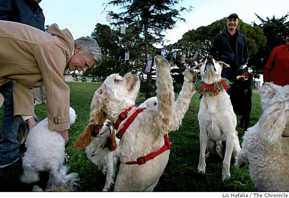 """Picasso (front), Chester (middle, right), a 9 year old Labrador mix,  and Marley (far right) at Lafayette Park near the Doggie Christmas Tree in San Francisco, Calif,  on Thursday, December 11, 2008.   In the background is Donald """"Bonjo"""" Steelmen (black jacket). Photo: Liz Hafalia, The Chronicle"""