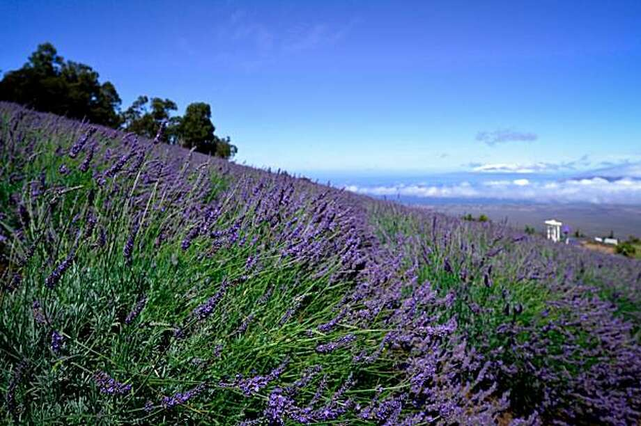 The new Grown on Maui bus tour stops at Ali'i Kula Lavender Farm, among other sites. Photo: Jeanne Cooper, Special To The Chronicle