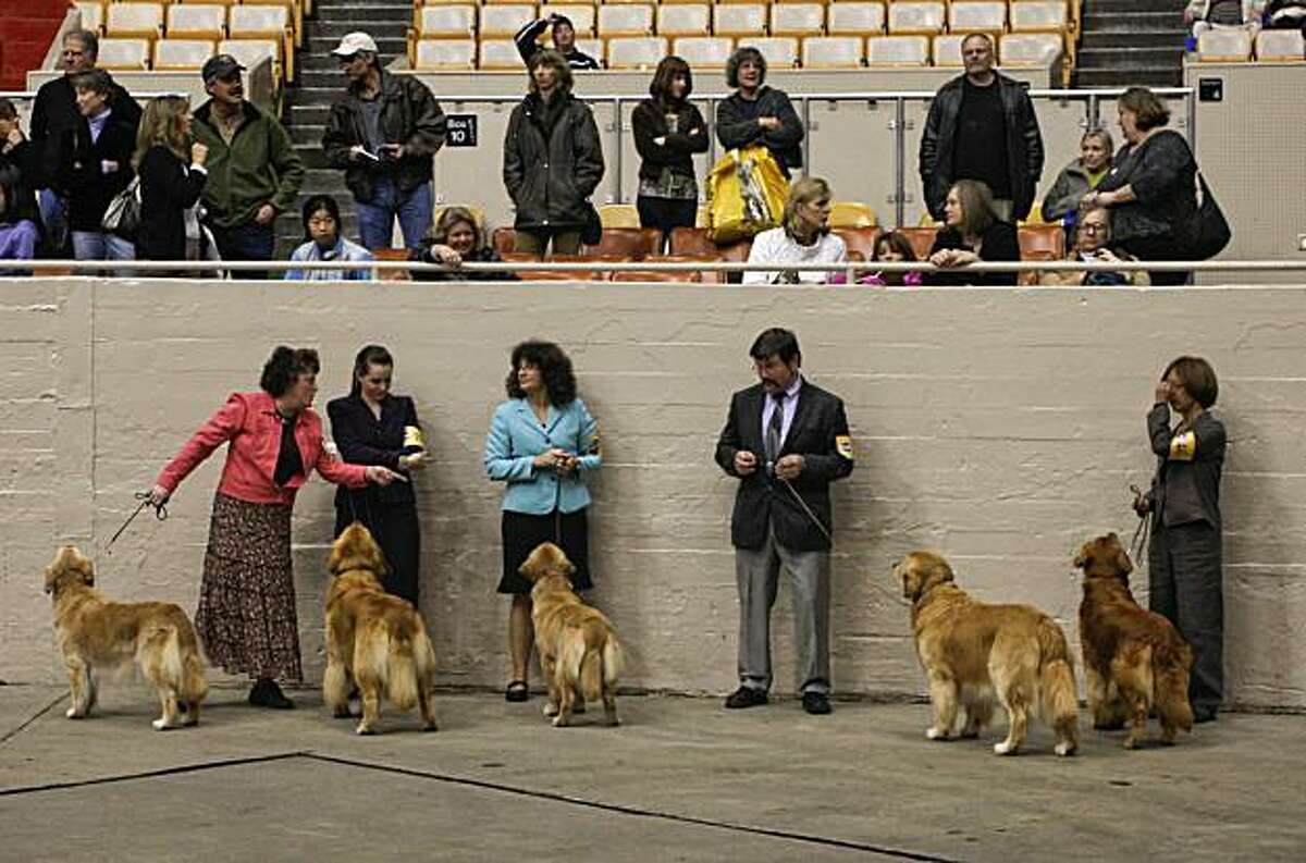 A group of Retrievers about to be judged during the 107th Golden Gate Kennel club dog show at the Cow Palace in San Francisco, Ca. on Saturday Jan. 29, 2011.