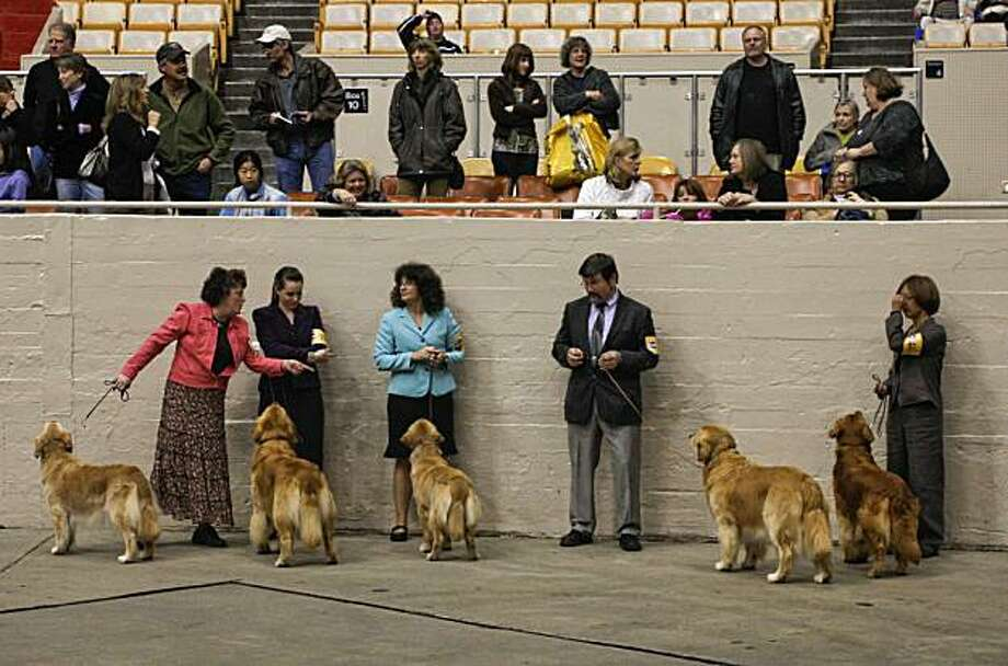 A group of Retrievers about to be judged during the 107th Golden Gate Kennel club dog show at the Cow Palace in San Francisco, Ca. on Saturday Jan. 29, 2011. Photo: Michael Macor, The Chronicle