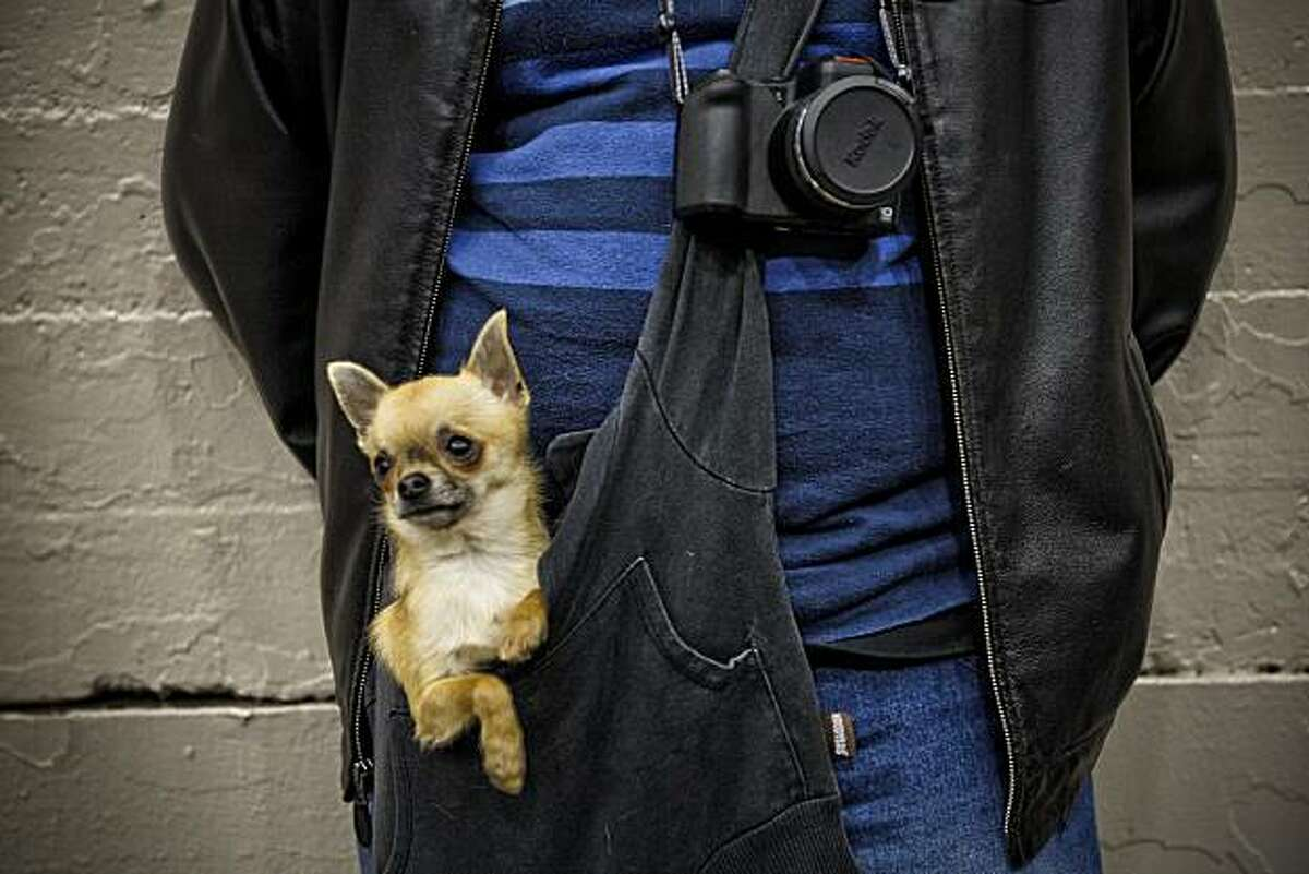 """""""Versace"""" a Chihuahua, gets a ride in the pocket of Ben Valenzuela, of Sacramento, as they watch the 107th Golden Gate Kennel club dog show at the Cow Palace in San Francisco, Ca. on Saturday Jan. 29, 2011."""