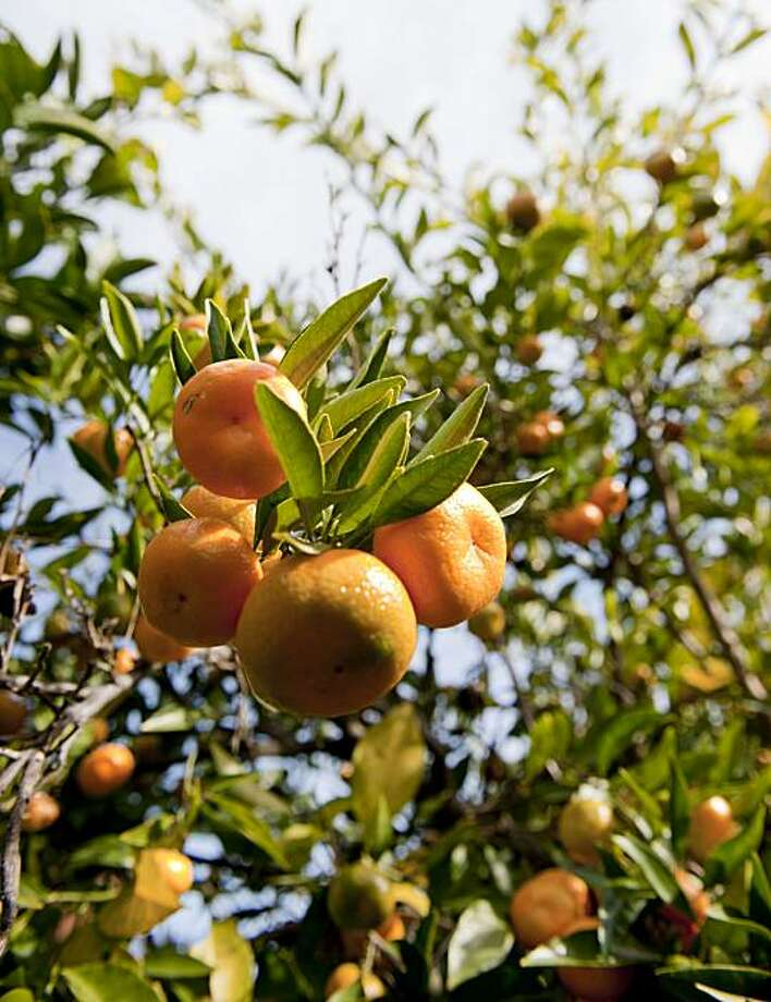 The Seedless Kishu Is Seen Among Gene Lester S Extensive Citrus Fruit Collection On His Property In