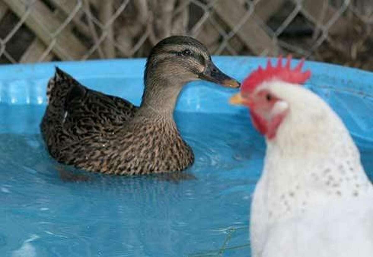 Bernadette the duck enjoys her pool while one of the chickens with whom she shares her poultry yard looks on in bewilderment.