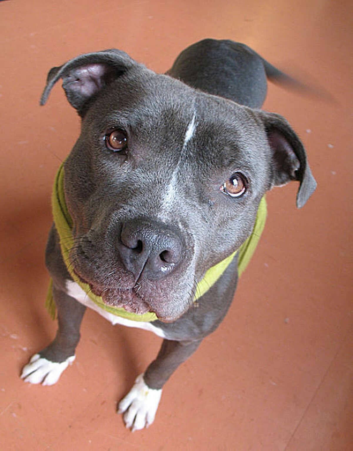 Lolo, a pit bull, was adopted from Oakland Animal Services by Meg and Thomas Cosby.