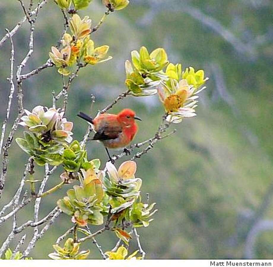 The 'apapane, a red honeycreeper native to Hawaii, is easily spotted in the ohia trees at the Kalalau Valley Lookout on Kauai. Photo: Matt Muenstermann
