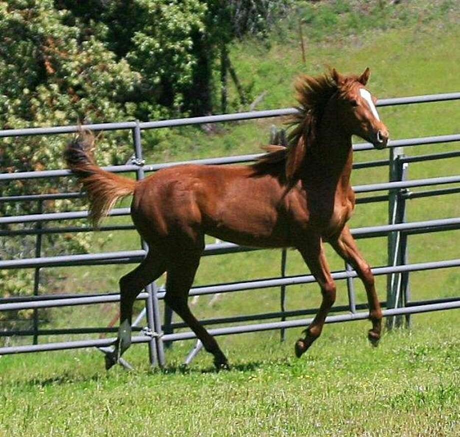 Seabiscuit descendant  frolics in pasture at Ridgewood Ranch. Photo: Ree Slocum, Special To The Chronicle