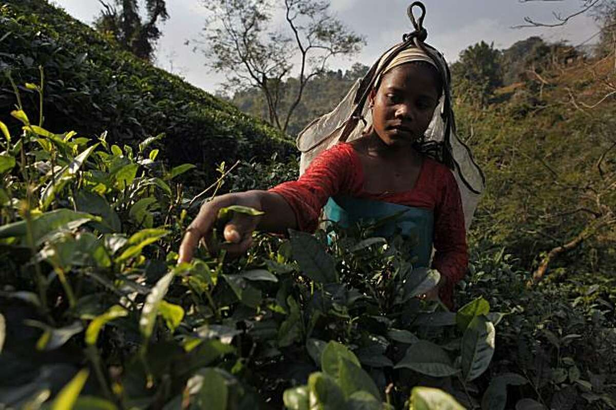 An Indian laborer plucks tea leaves at a tea garden in Amchong tea estate, about 45 kilometers (28 miles) east of Gauhati, India, Friday, Dec. 31, 2010. Tea growers in northeastern India say climate change has hurt the country's tea crop, leading not justto a drop in production but also subtly altering the flavor of their brew.