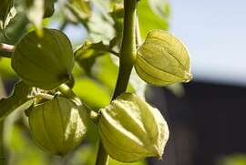 Ground cherries growing at the Chronicle rooftop garden in San Francisco, Calif.,  on Friday, Sept. 18, 2009.